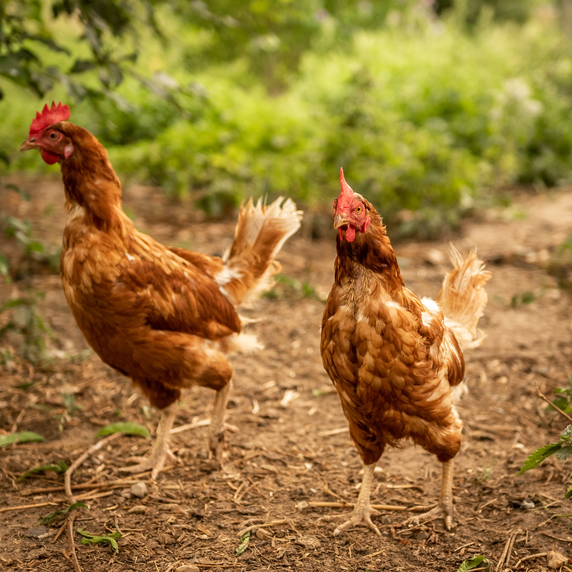 8 of the Best Egg-Laying Chickens for Backyard Farmers