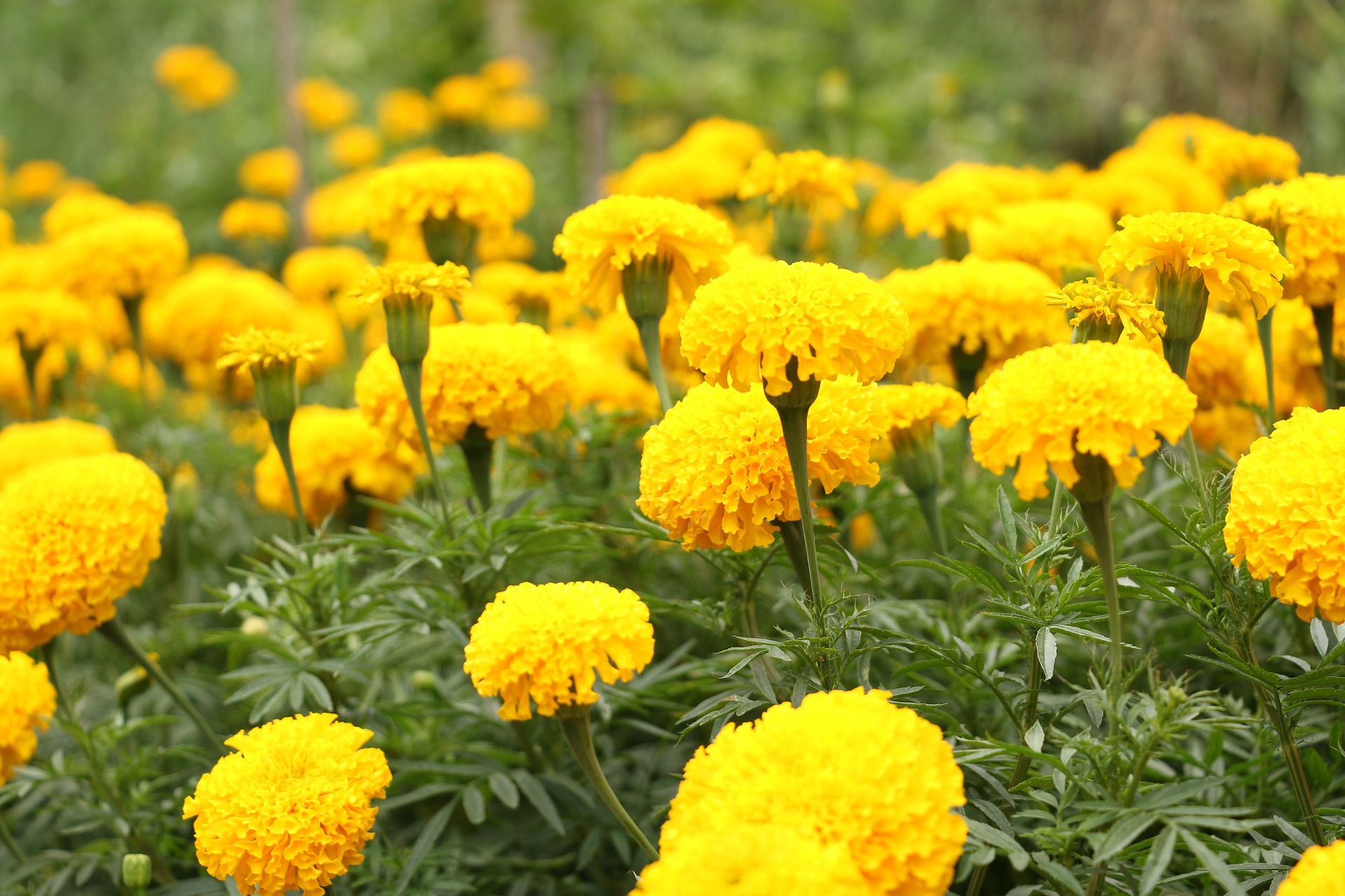 The Common Marigold, and Why It's Such A Wonderful Plant Ally