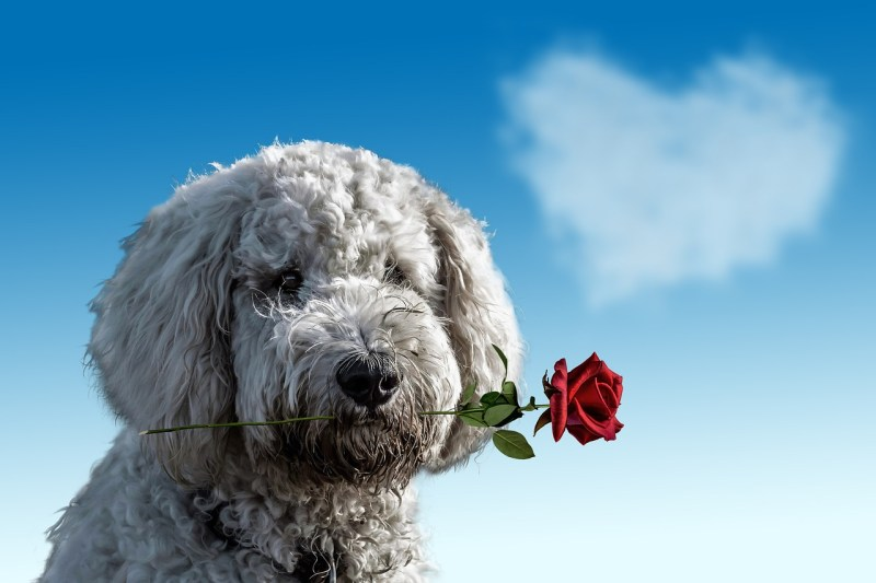 roses safe for dogs