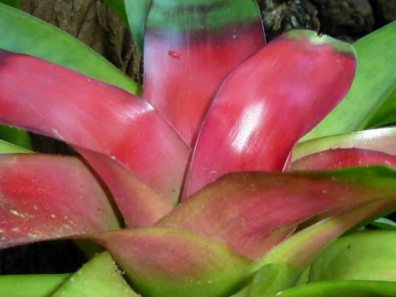 Neoregelia bromeliaceae