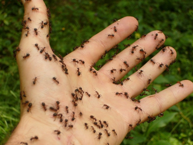 Home remedies for ants bites