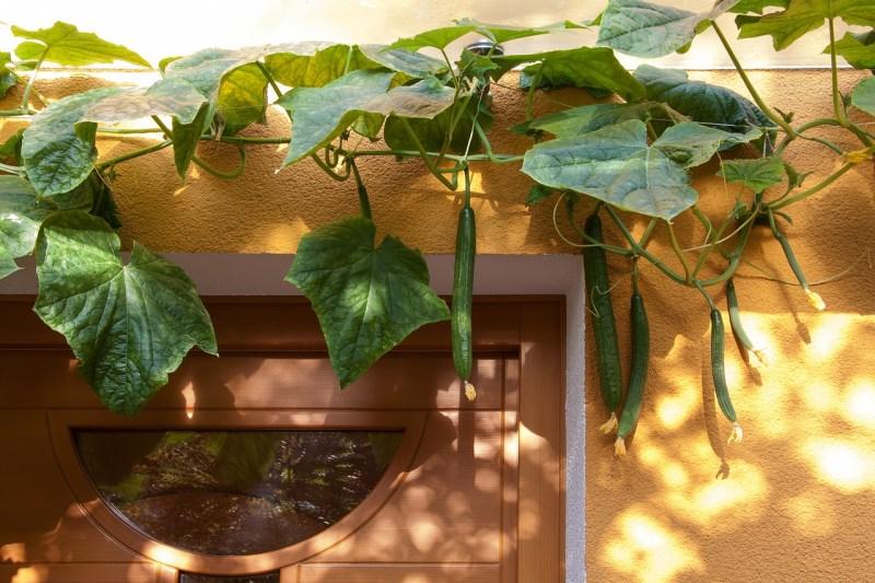 vertical bean garden