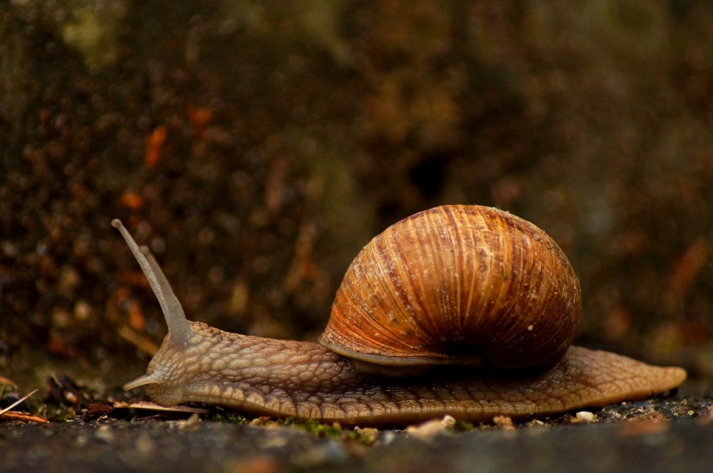 Coffee grounds in garden soil repels slugs and snails