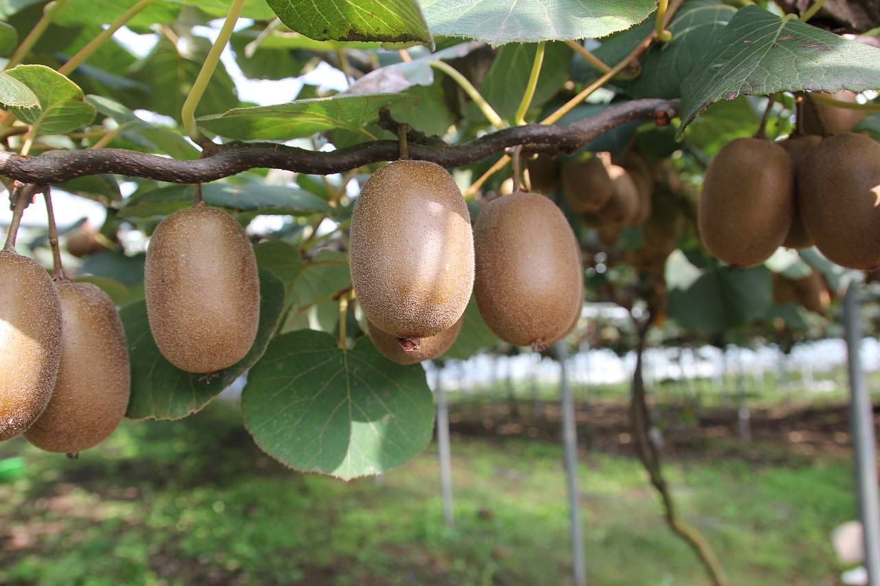 2 Different Delicious Kiwi Plant Varieties and How to Grow Them