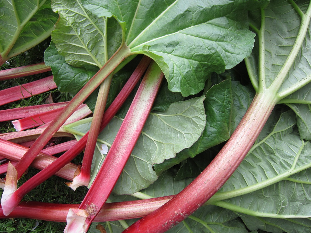 How to Create an Amazing Natural Insecticide from Rhubarb Leaves