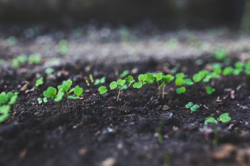 Tulsi plant seedlings
