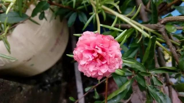 portulaca grandiflora cream orange