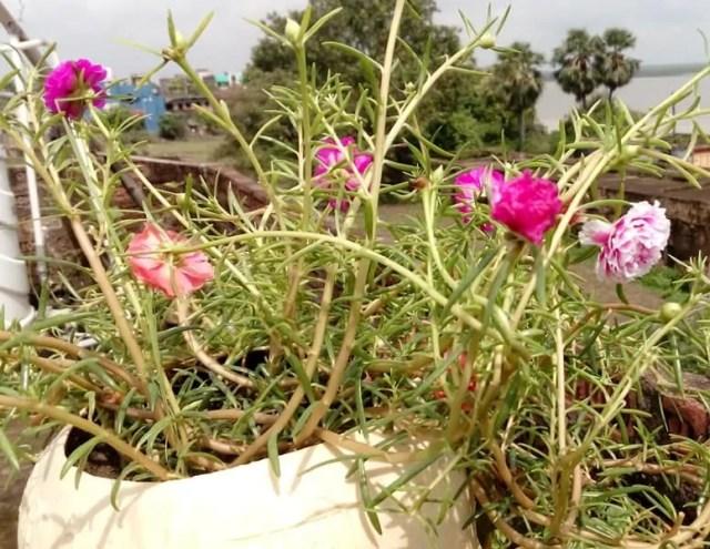 portulaca grandiflora in baskets and pots