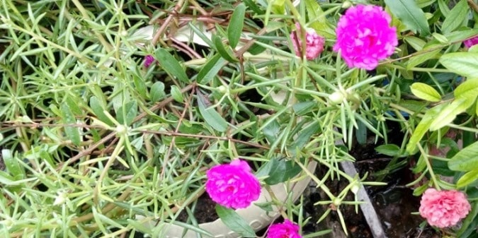how to grow portulaca grandiflora in containers