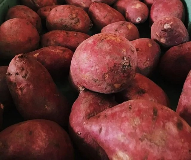 Fibrous roots in Sweet potato