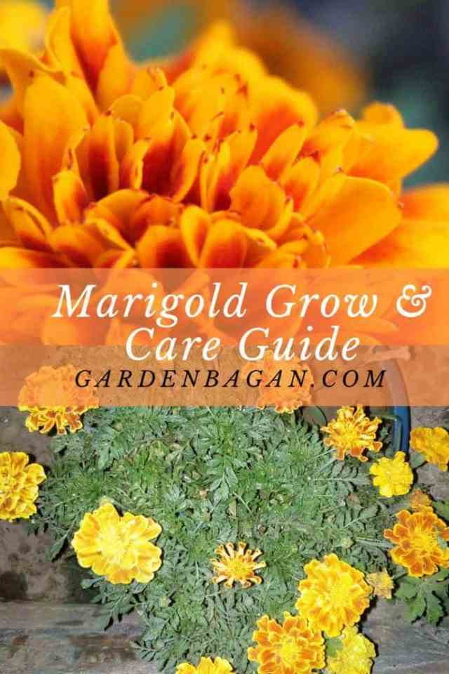 How to Grow and Care Marigolds Complete guide
