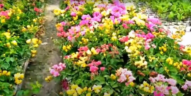 Bougainvillea Summer Flowers to Grow in April and May