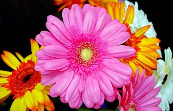 gerberas beautiful french flowers