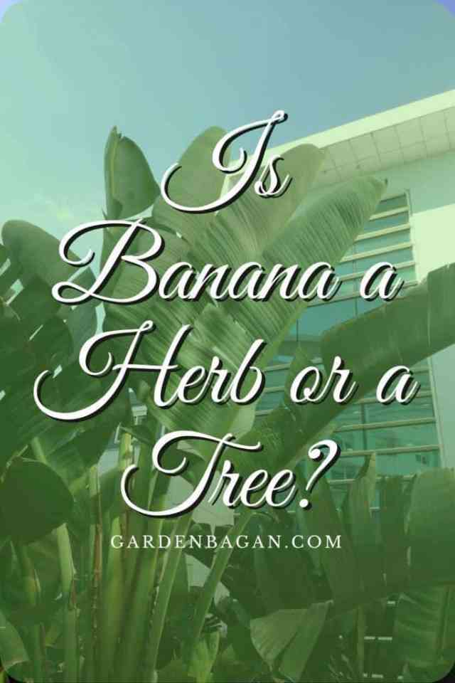 Is Banana a Herb or a Tree