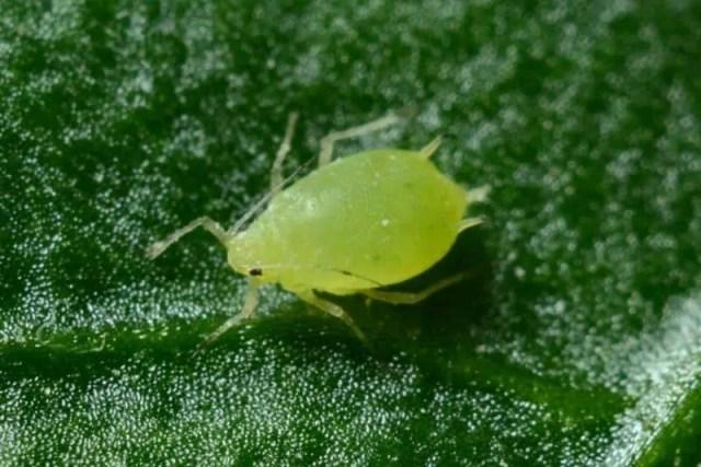 aphids-common-succulent-problem