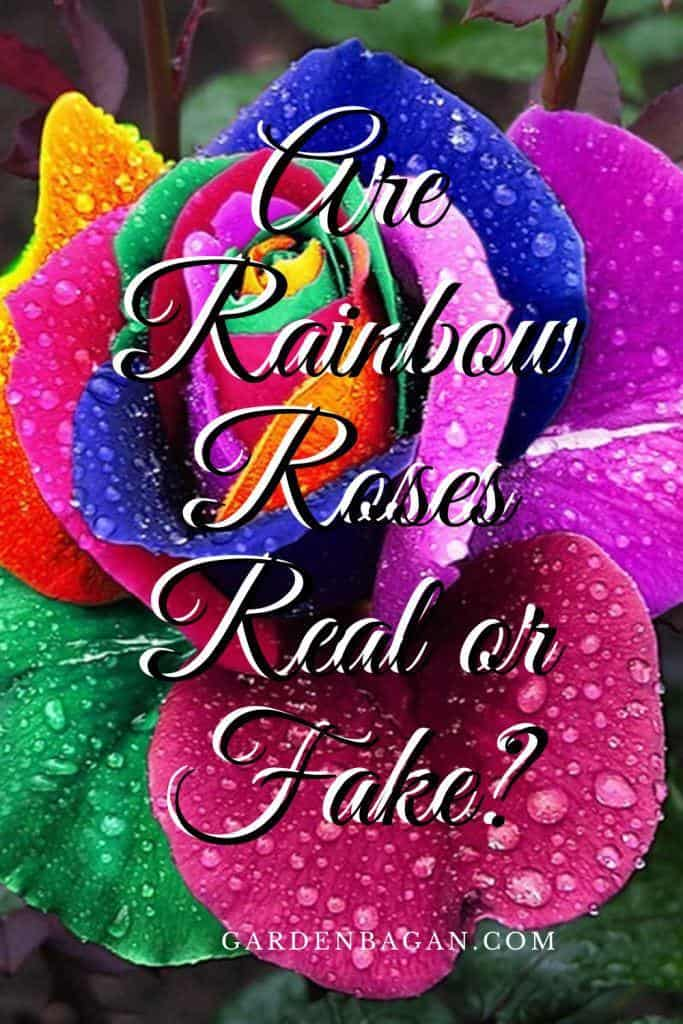 are rainbow roses real or fake