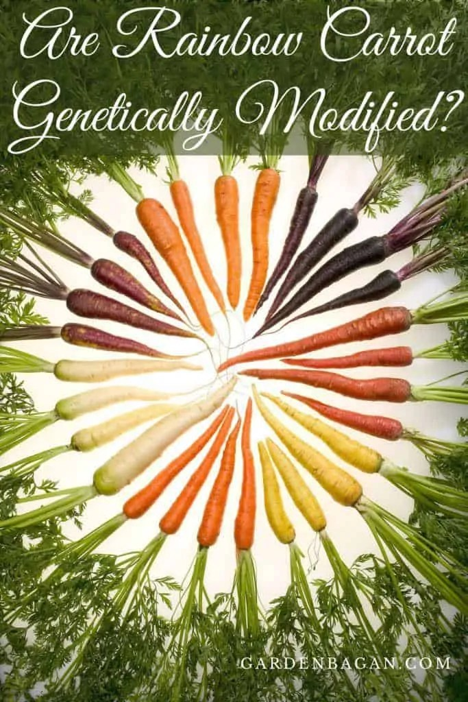Are Rainbow Carrot Genetically Modified
