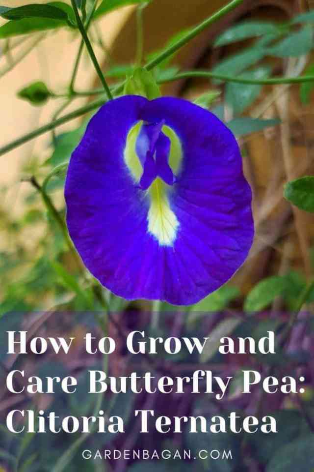 How to Grow and Care Butterfly Pea_ Clitoria Ternatea