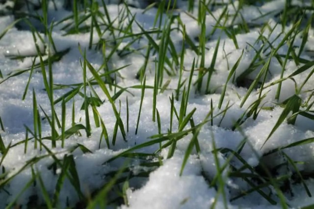 Grass can Survive Winter Snow Lawn Care