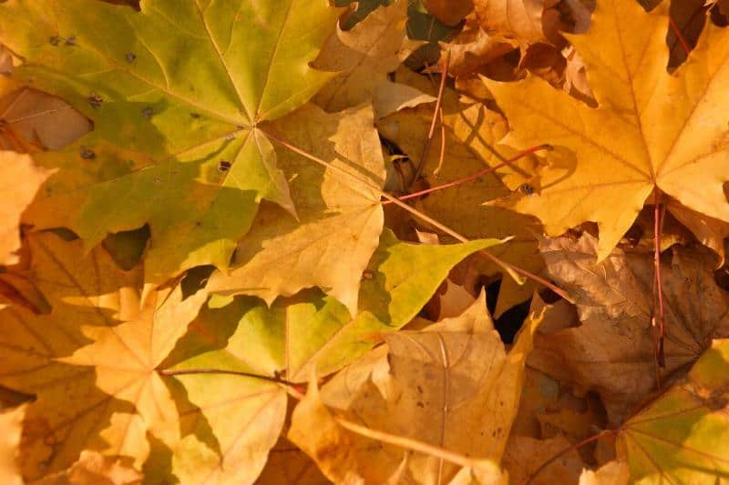 Natural-leaves-turning-yellow