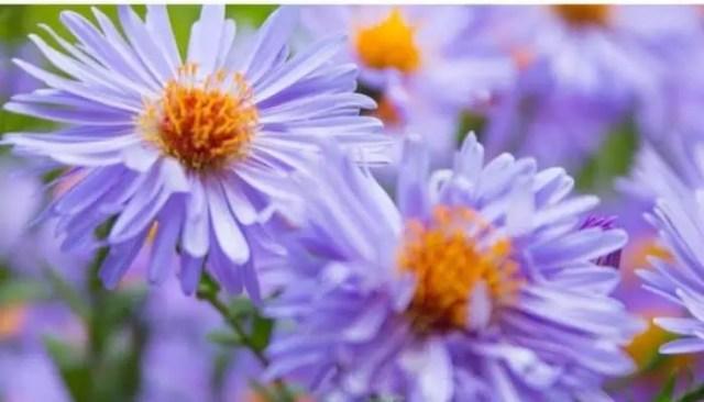 blue alpine daisy italian flowers