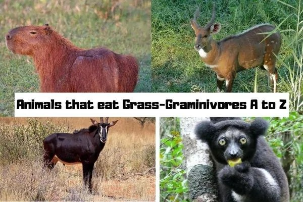 Animals that eat Grass-Graminivores A to Z
