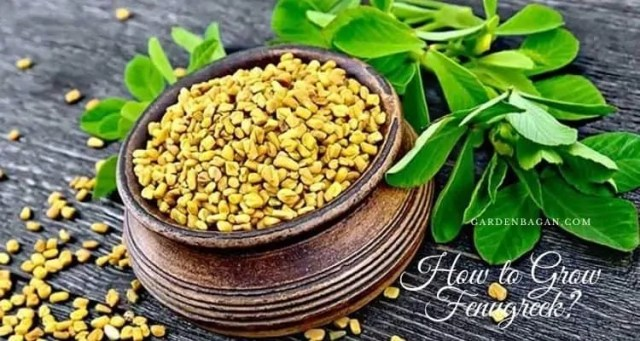 How to Grow Fenugreek?