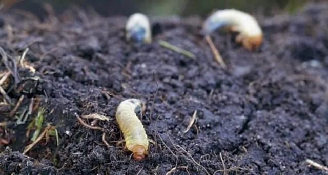 japanese-beetle-grub-larva
