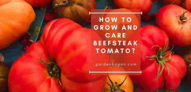 How to Grow and Care Beefsteak Tomato