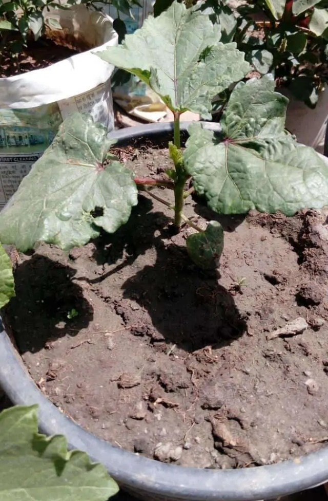 okra-plant-after-25-days