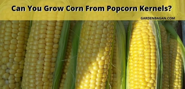 Can You Grow Corn From Popcorn Kernels