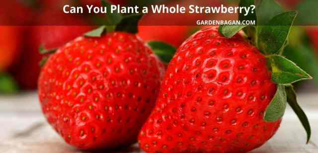 Can You Plant a Whole Strawberry