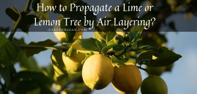 How to Propagate a Lime or Lemon Tree by Air Layering