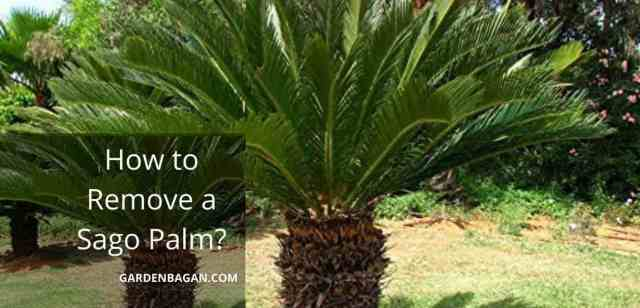 How to Remove a Sago Palm
