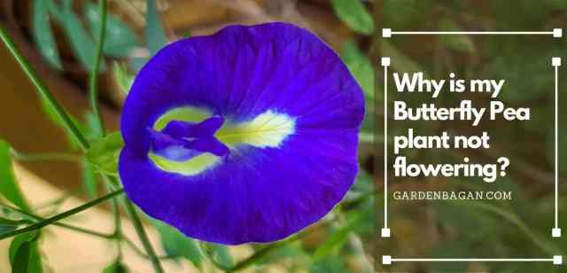 Why is my Butterfly Pea plant not flowering