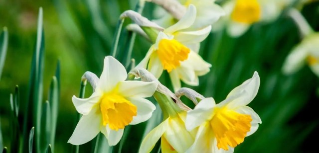 how to propagate daffodils from bulbs
