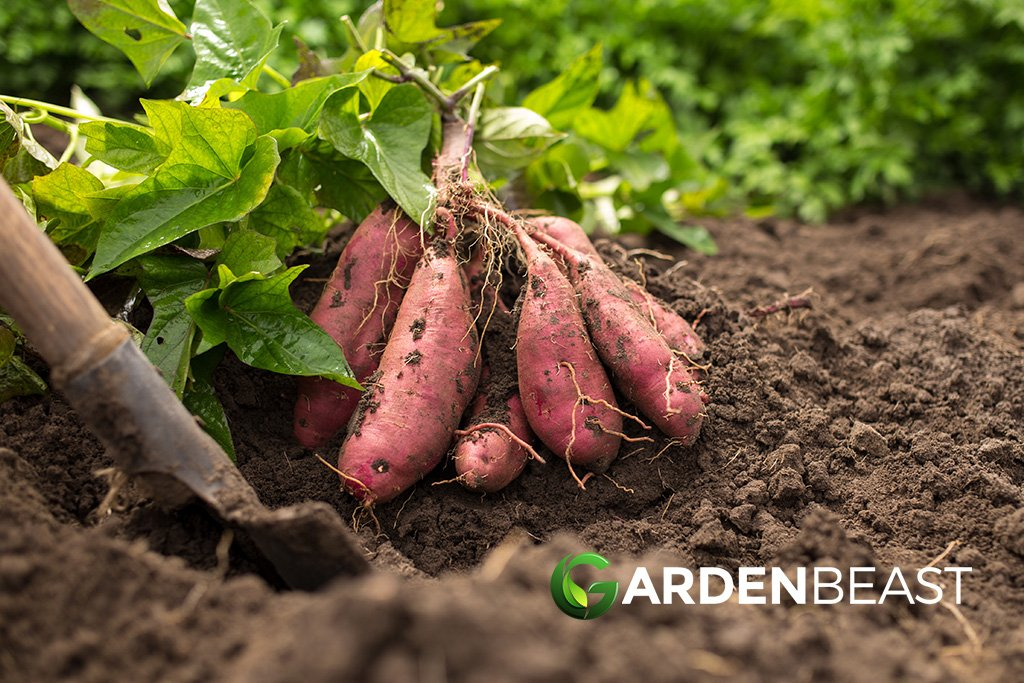 How to Grow Sweet Potatoes: Tips for Planting & Growing Complete Guide