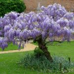 Complete Guide To Wisteria How To Grow Care For Wisteria