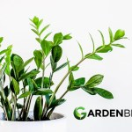 Guide To Zz Plants How To Grow Care For Zamioculcas Zamiifolia