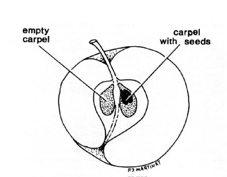 Apple Blossom Diagram