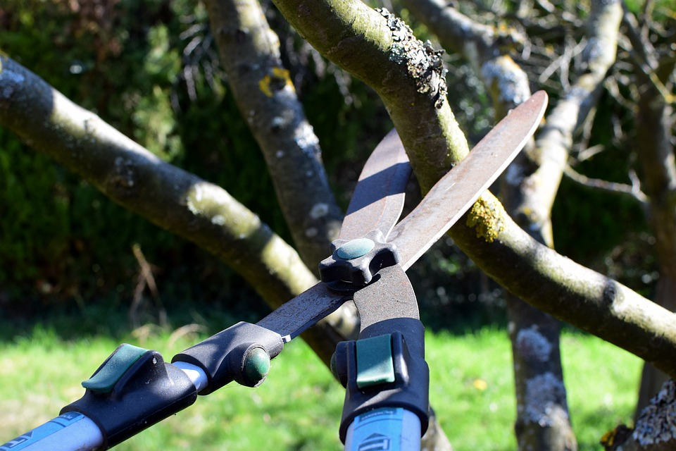 A pair of tree pruners with blue handles cuts into a thick tree branch.