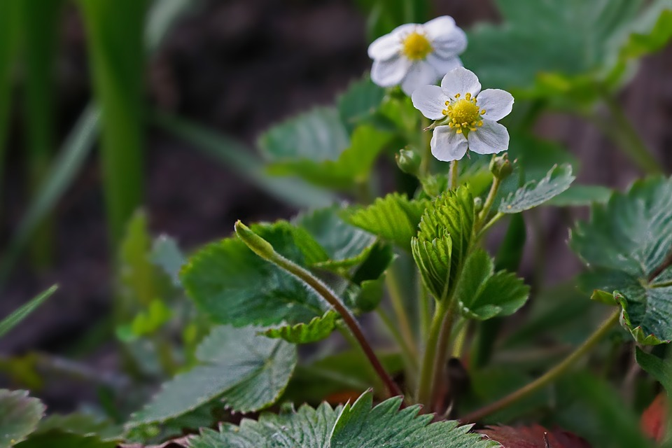 Small white and yellow strawberry flowers blooming in a thick strawberry patch.