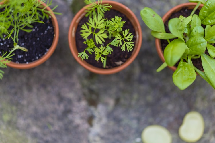 Green herbs of three different varities growing in orange colored containers.