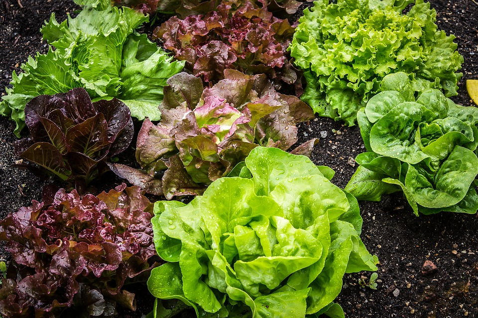 Several colorful heads of lettuce, red, green, and purple in color, growing in dirt and organic compost.