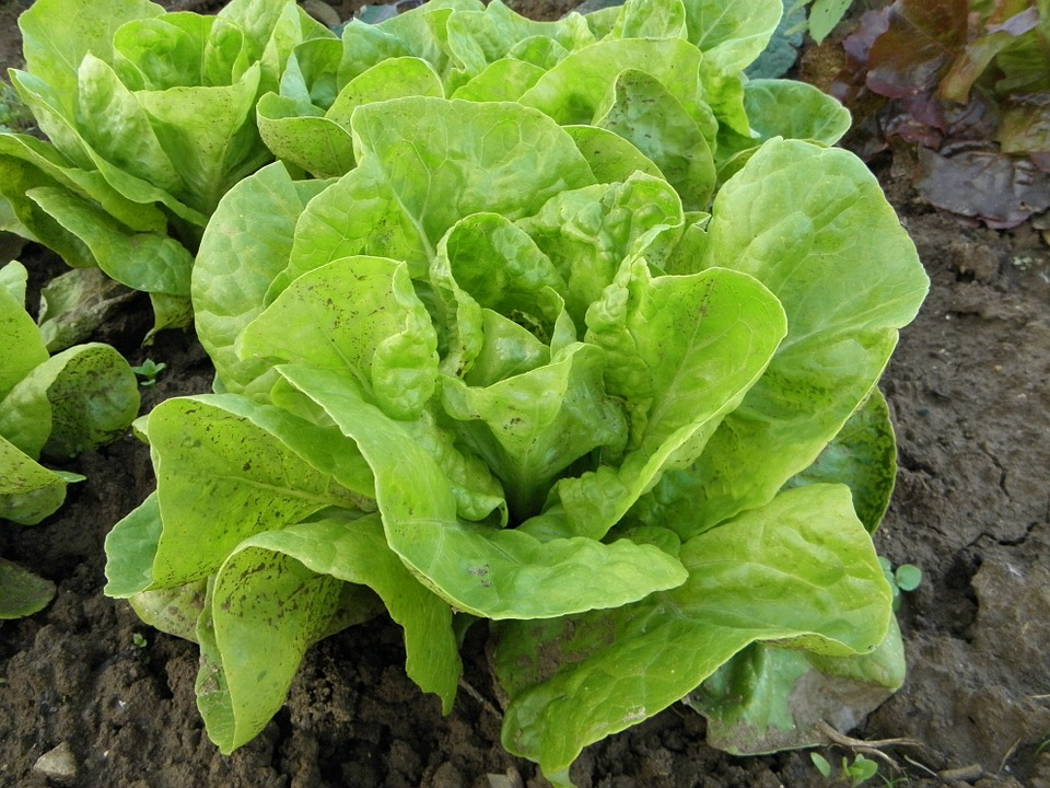 A few heads of bright green butterhead lettuce growing out of cracked brown earth.