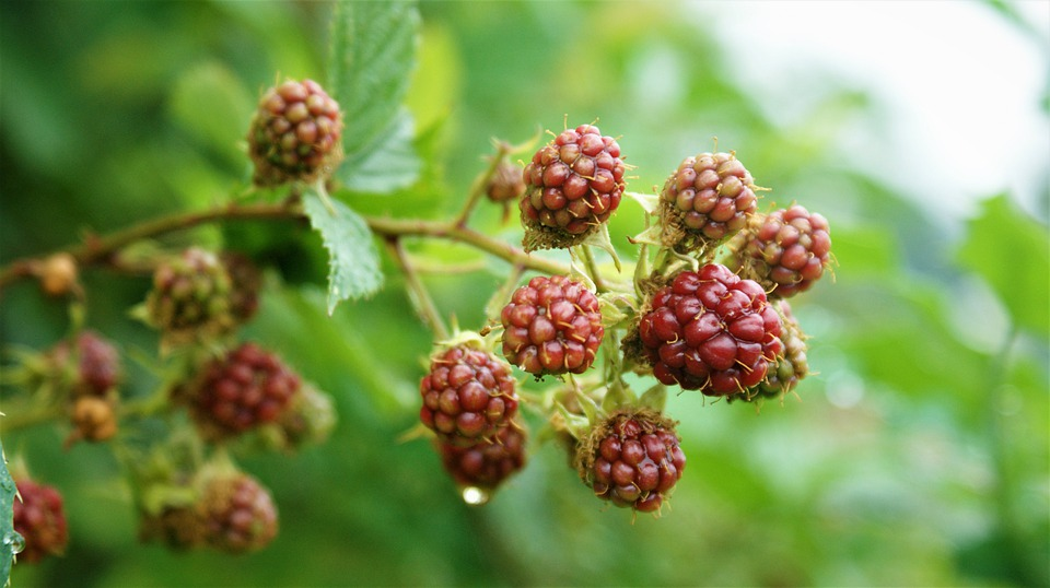 Light red and pink blackberries ripen on the vine.