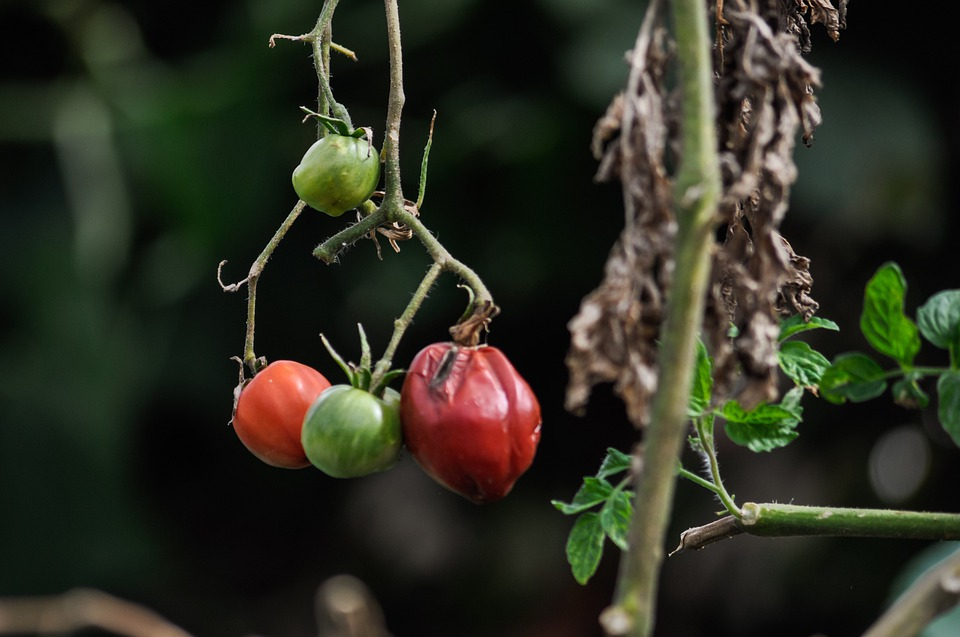 Over-ripe tomatoes on the vine ready for picking and seed collection.
