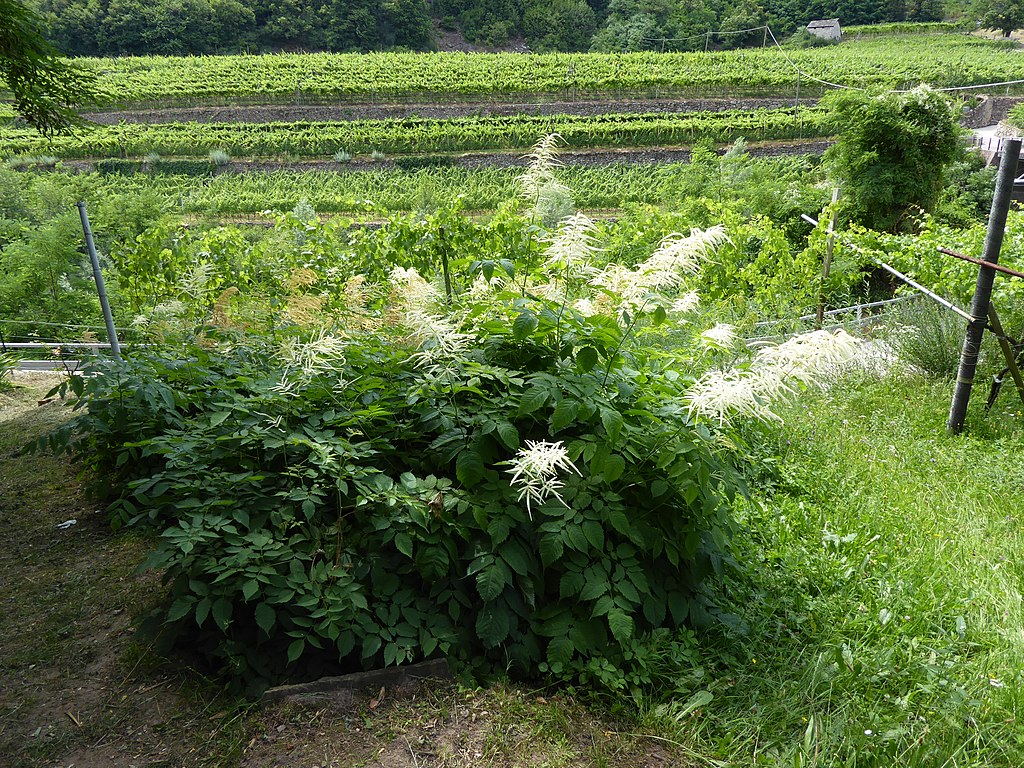 A 2 feet tall and several feet wide green leafy bush with tall and slender white flowers.