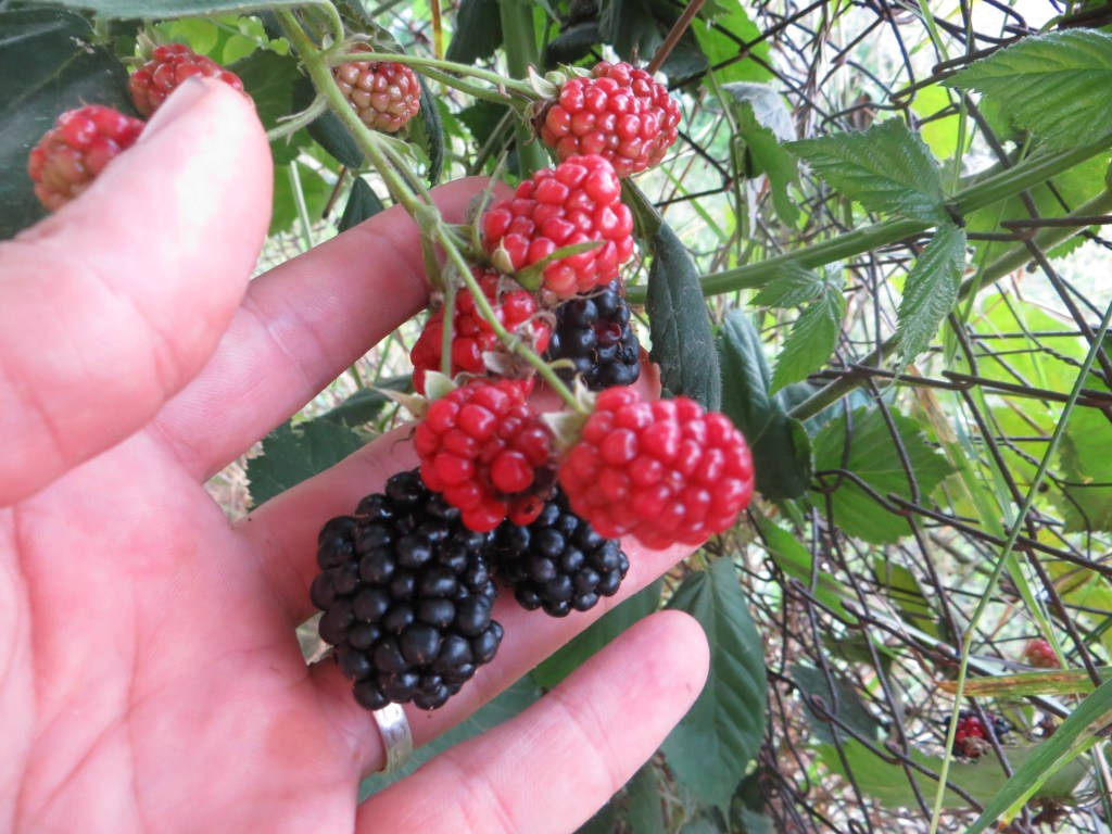 Black and red blackberries growing in along an old chainlink fence and elder tree.