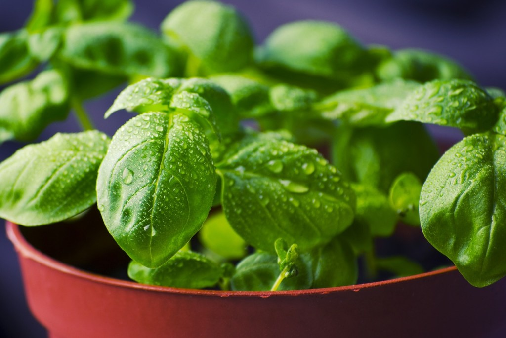 An orange container with several baby basil plants dripping water from their leaves.